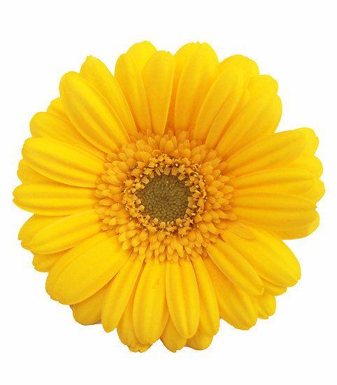 Yellow Gerber Daisy Yellow Daisies Gerbera Daisy Gerbera