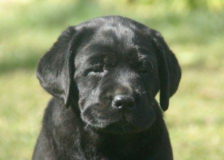 Legasea English Black Labrador Pup Labrador Retriever Labrador Labrador Retriever Dog
