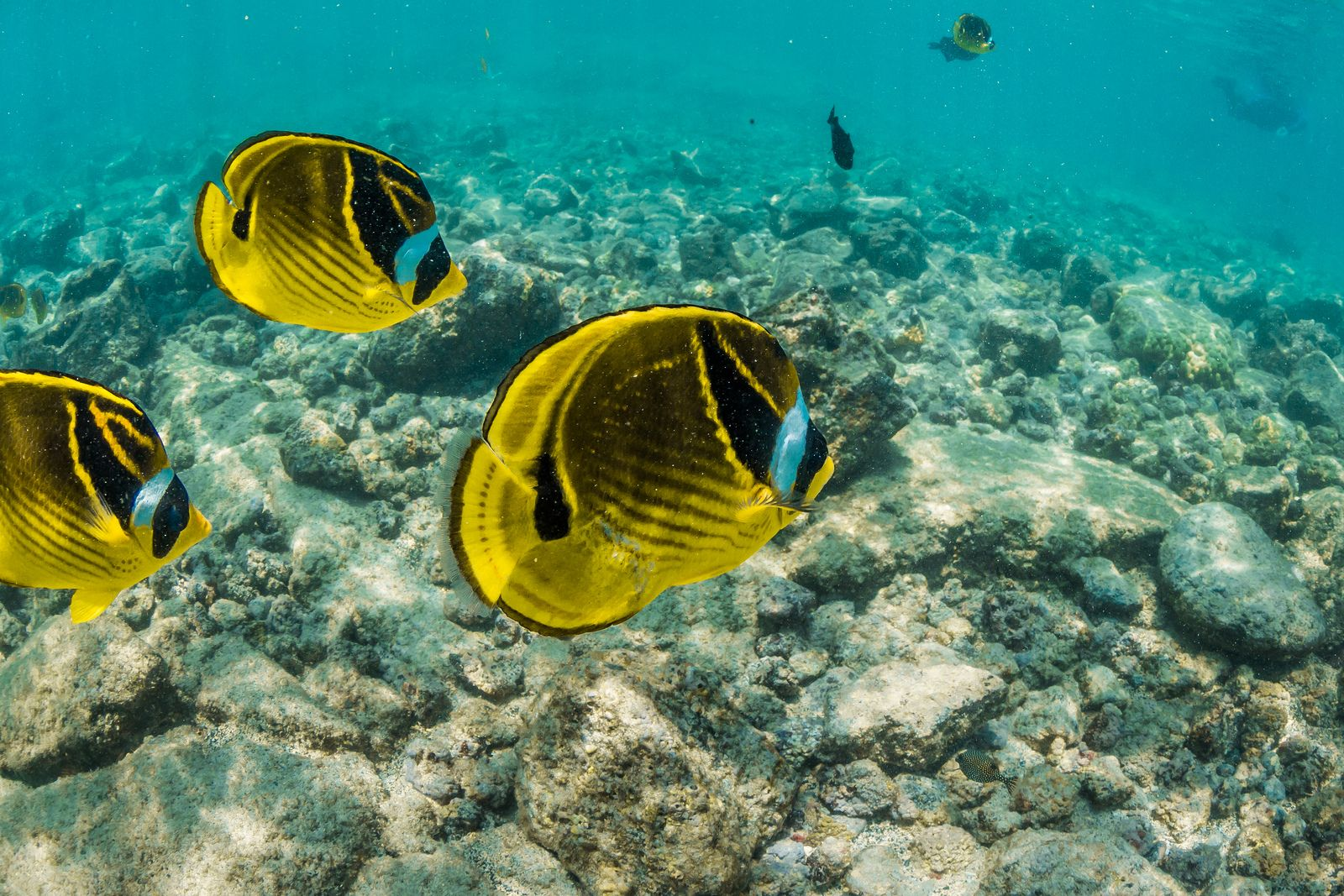 School of Raccoon Butterflyfish along Coral Reef off Big Island of Hawaii | por Lee Rentz