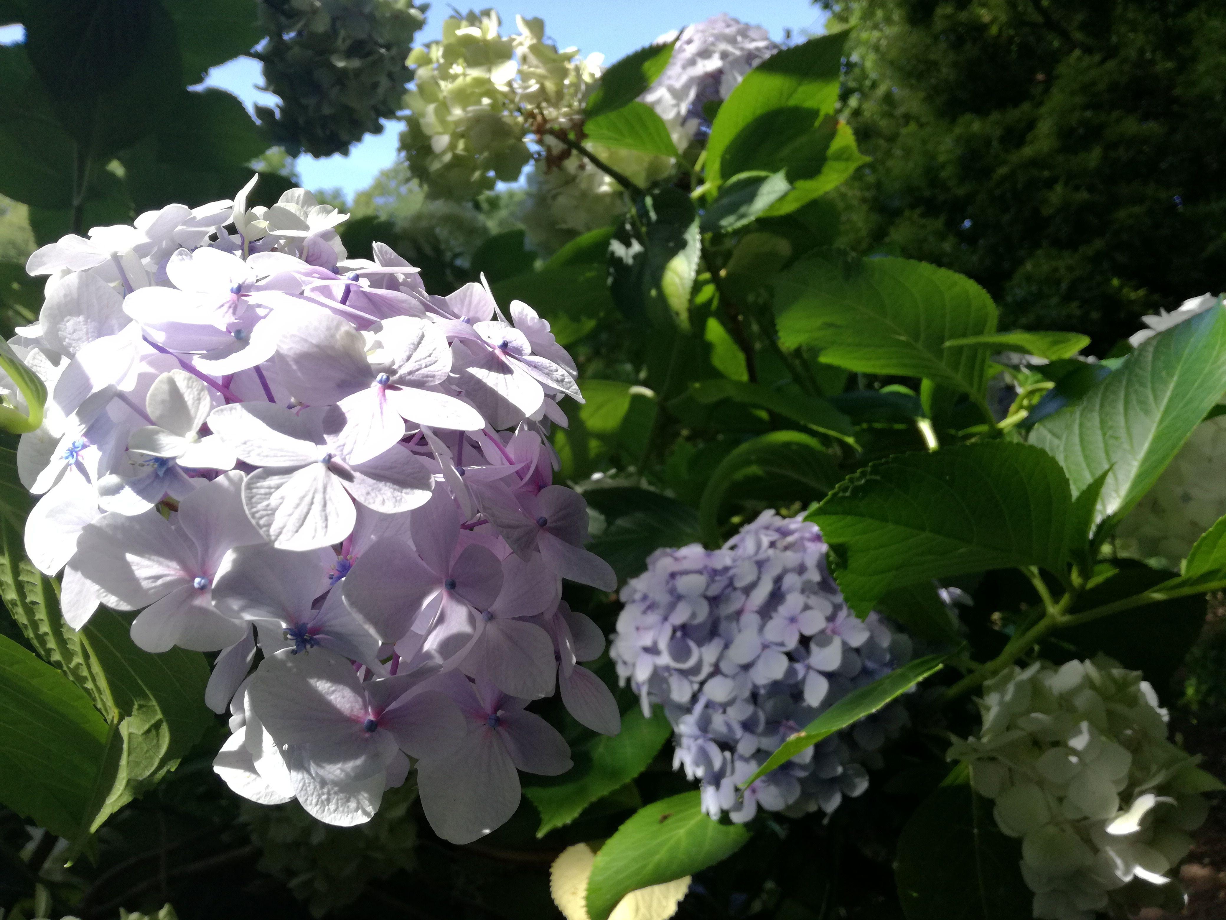 Hortensias Blancs Beaute A L Etat Pur Les Jardins De Kerdalo
