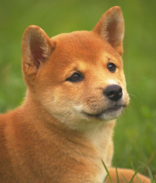 The ancient Shiba Inu is the smallest of the six Native Japanese breeds.