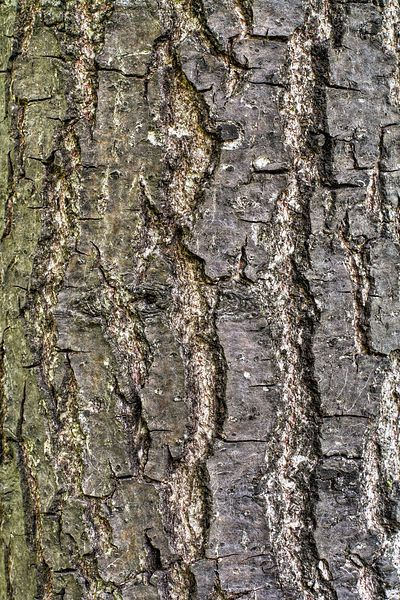 Closeup of English Oak bark in Toronto, Canada. Tree