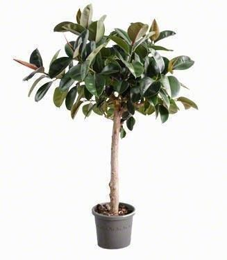 ficus robusta standard exotic tropical houseplants for the plantaholic in me. Black Bedroom Furniture Sets. Home Design Ideas