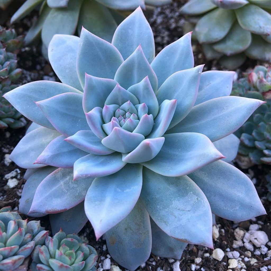 8 Blue Succulents You Need In Your Succulent Garden Blue Succulents Succulents Purple Succulents
