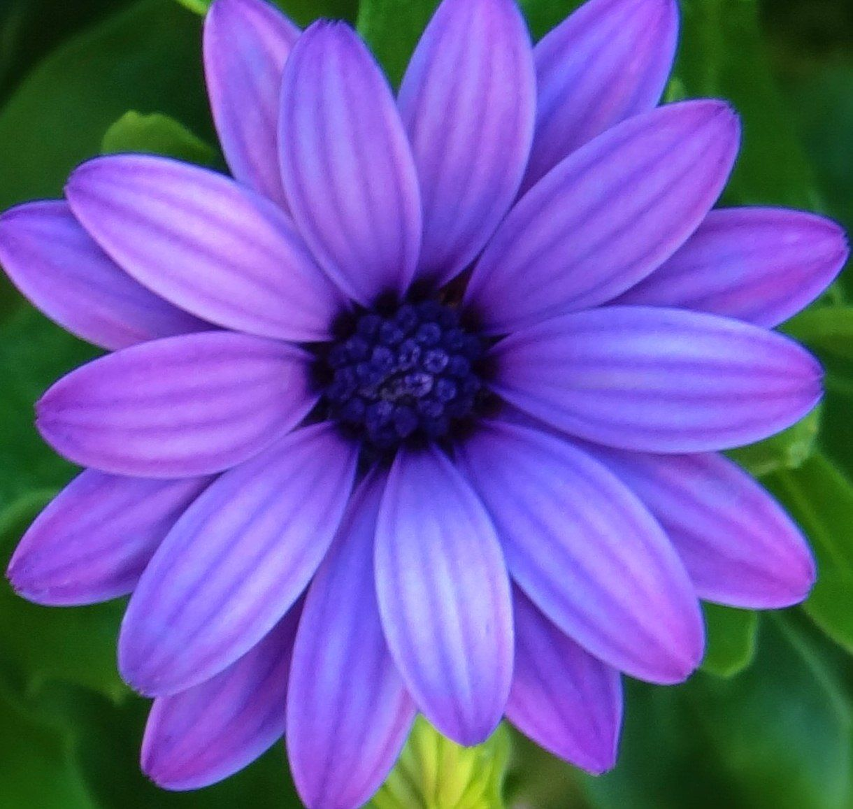 Purple daisy daisies pinterest purple flowers and flowers garden purple daisy izmirmasajfo