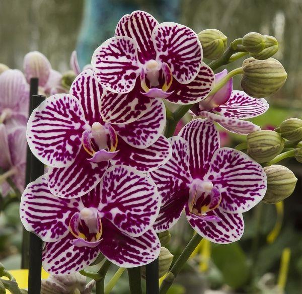 Orchids Phalaenopsis Taida King S Caroline Taida Little Zebra