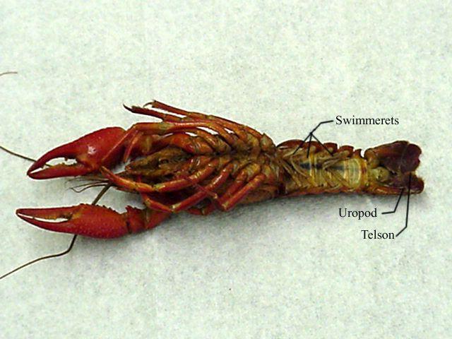 Crayfish Dissection Lab Companion Apologetics Pinterest