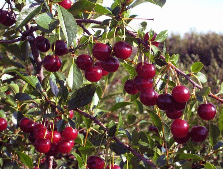 Carmine Jewel Sour Cherry A Dwarf Sour Cherry Variety
