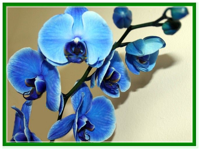 Blue Orchid Flower Meaning Blue Orchid Flower Blue Orchids Flower Meanings