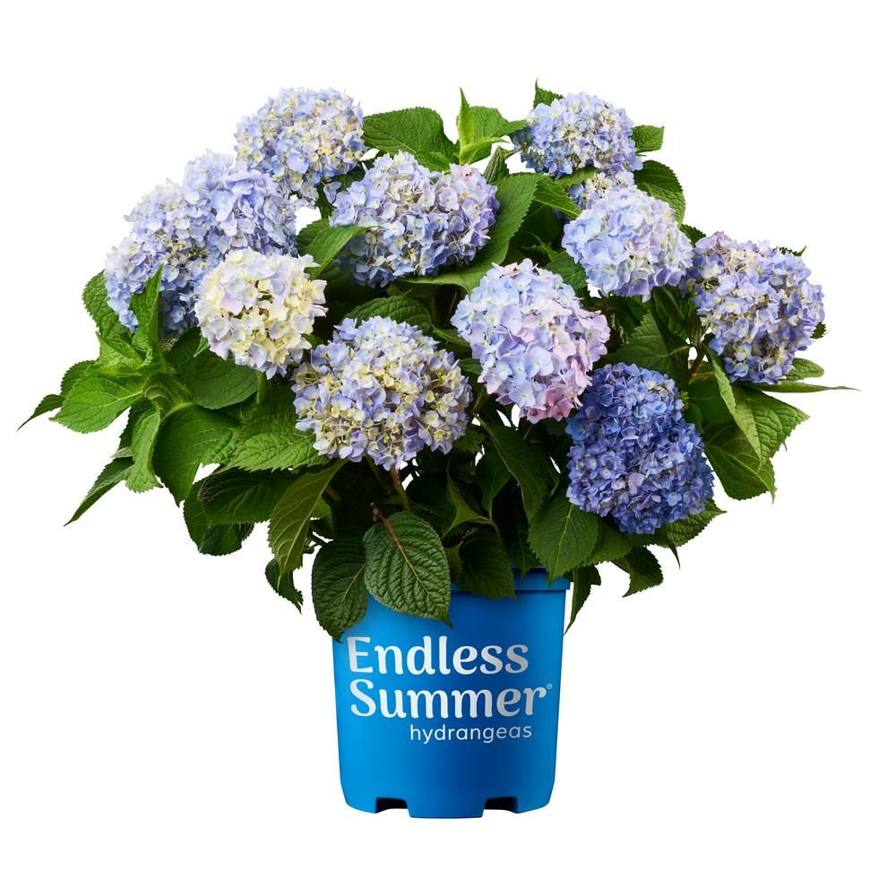 Endless Summer Endless Summer 1 Gal Original Hydrangea Plant With Pink And Blue Flowers 10530 In 2020 Endless Summer Hydrangea Planting Hydrangeas Summer Hydrangeas