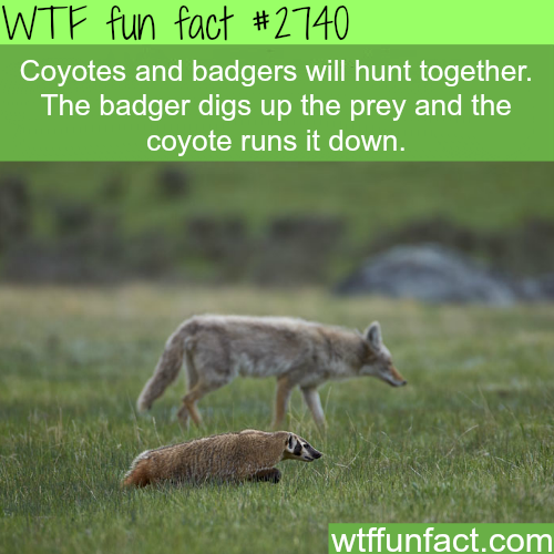 Interesting Facts About Coyotes For Kids
