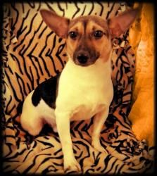 Chico is an adoptable Jack Russell Terrier Dog in Hillsboro, MO. HI There.  My name is Chico, and I hate to brag but I am one of the Rescue's favorites.  They say I have an A+ personality.  I am about...