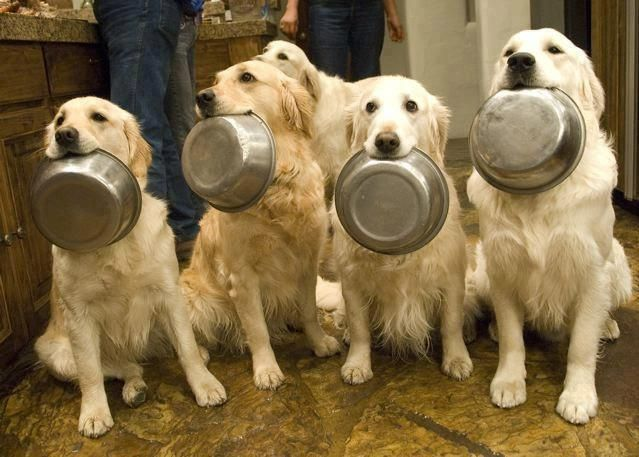 Dinner Time Hot Dogs Dogs Golden Retriever Funny Dogs Dogs