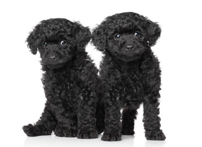 How I Live With Five Little Poodles Poodle Puppy Toy Poodle