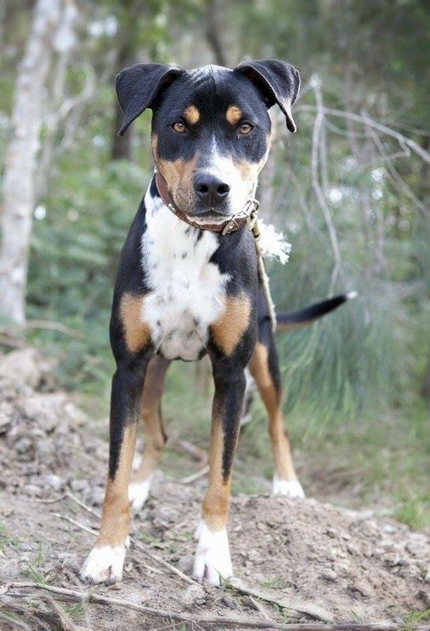 Raju Medium Male Kelpie X Rottweiler Mix In Qld Rottweiler Mix