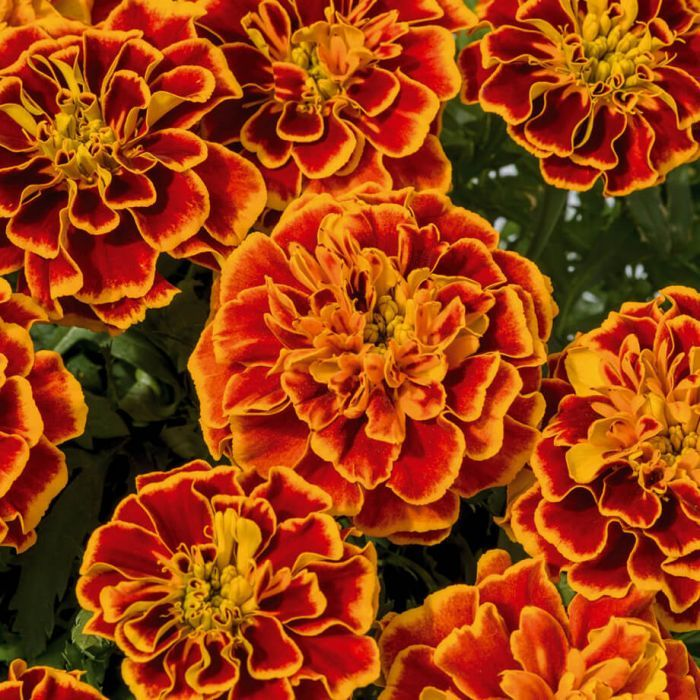 Super Hero Flame Marigold Flower seeds, Marigold