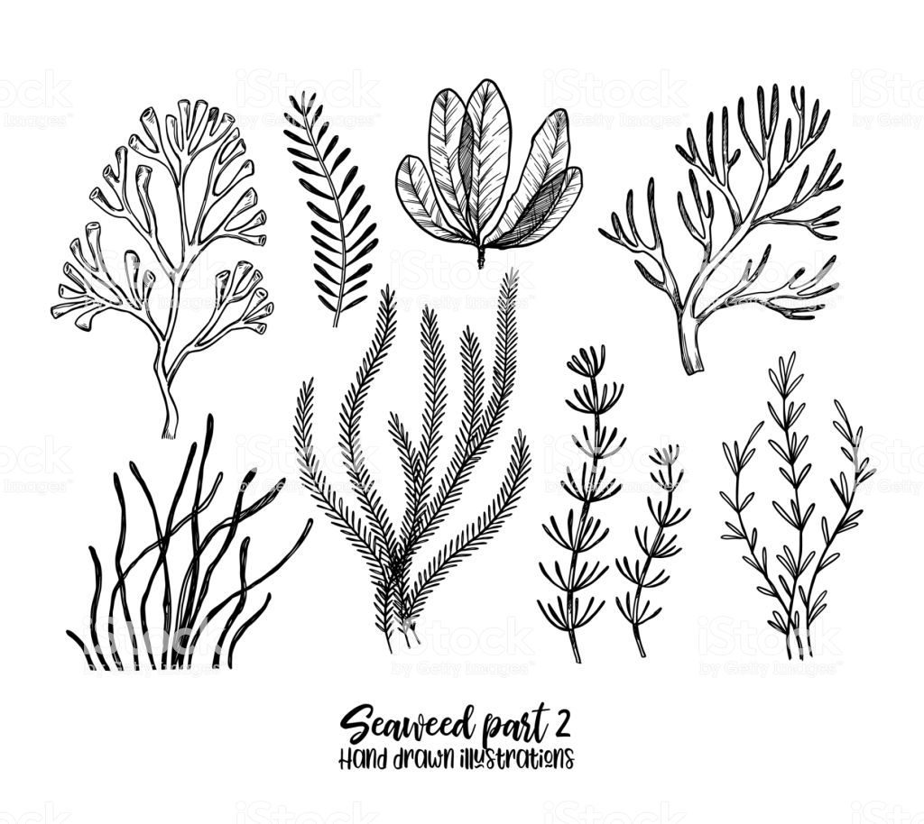 Hand Drawn Vector Illustrations Seaweed Herbal Plants In Sketch Hand Drawn Vector Illustrations How To Draw Hands Hand Drawn Flowers