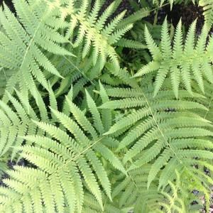 2.5 Qt. Southern Wood Fern 1310Q at The Home Depot - Mobile