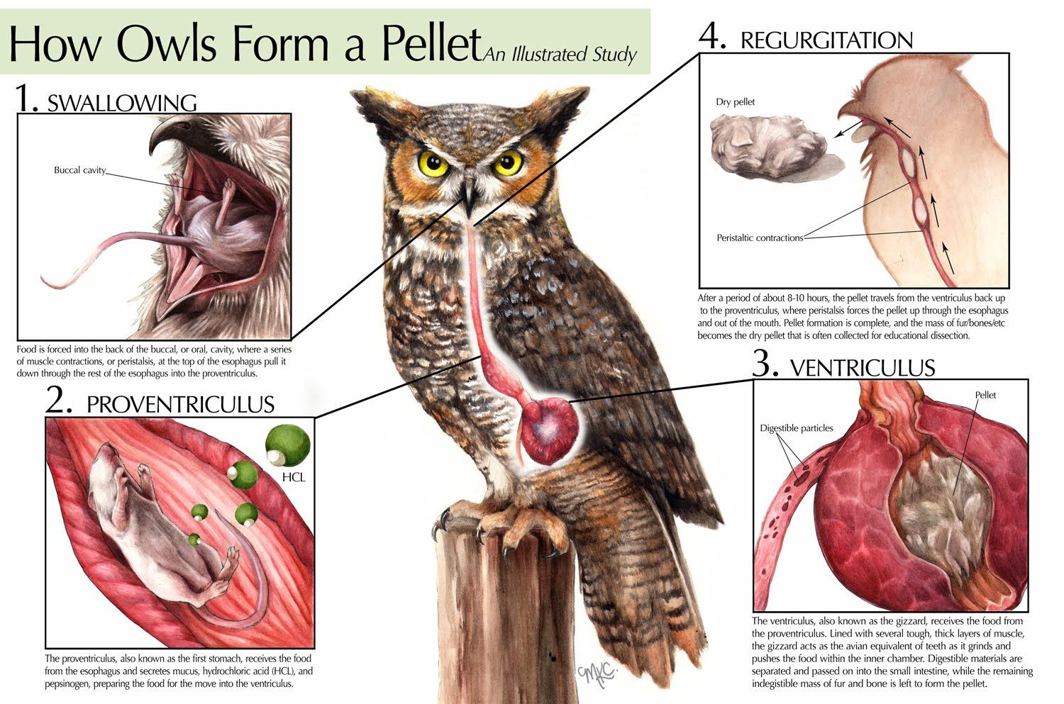 worksheet Virtual Owl Pellet Dissection Worksheet adventures with mel syd owl pellets cc cycle 1 science pellets
