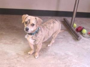 Zeeva Is An Adoptable Dachshund Dog In Chicago Il Hurry Go Get Adoptable Dachshund Dog Pets For Sale Save Animals
