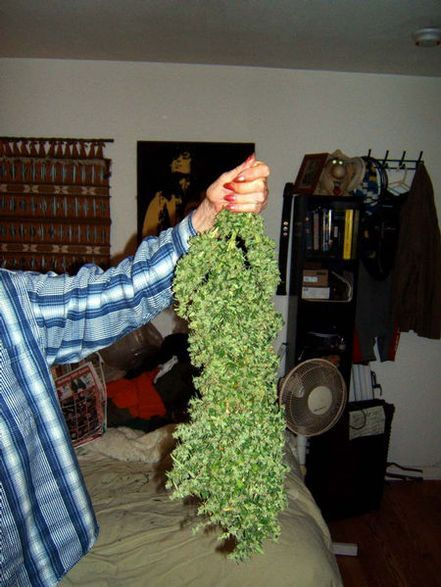 Steroid Buds! #chronic