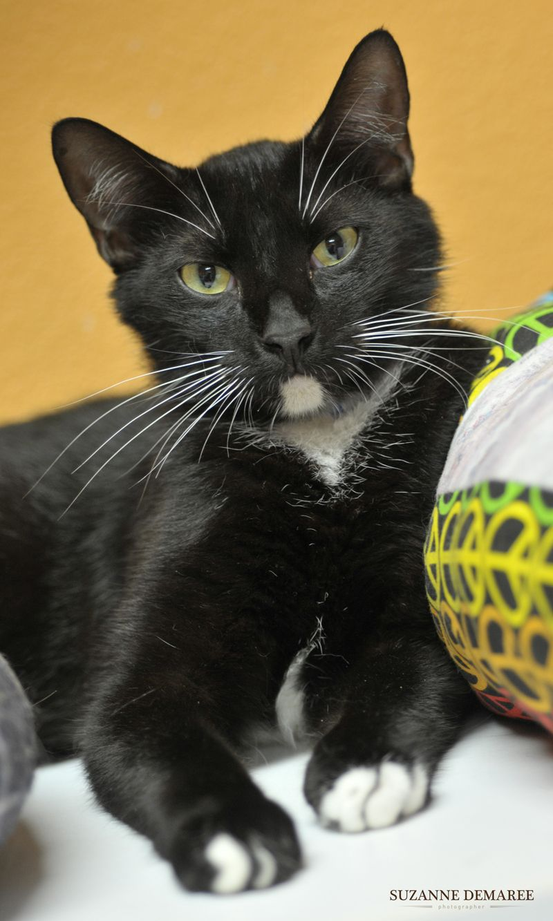Cyrus Is A Handsome Cat With Distinctive Black And White Fur He Would Love To Go Home With A Family Today Cat Adoption Cats Crazy Cats