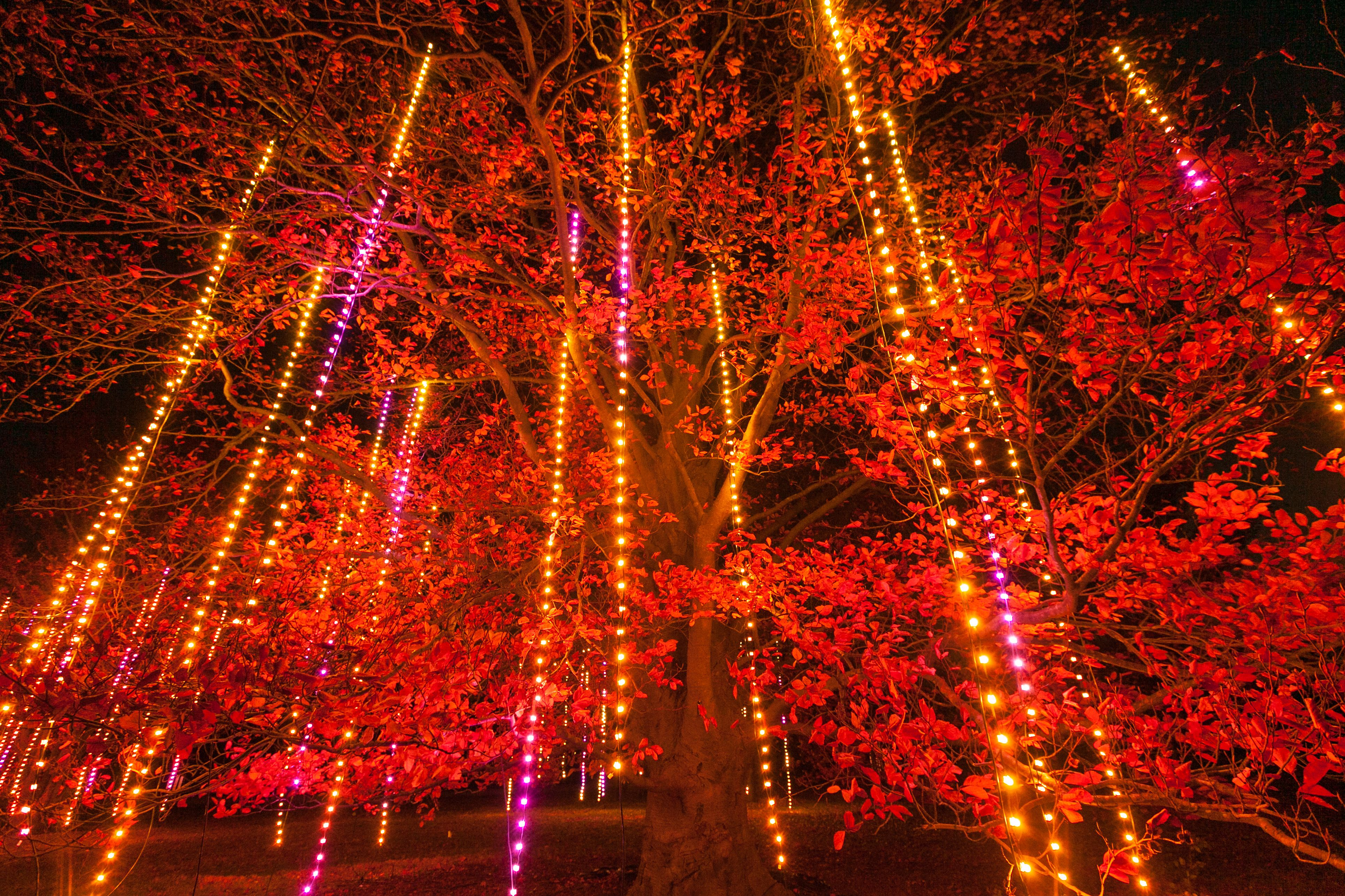 Illumination Tree Lights At The Morton Arboretum