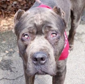 Safe Lmelbourne A1107932 Male Gray Cane Corso Mix 5 Yrs Stray Strayavai No Hold Reason Stray Intake Condition Unspeci Shelter Dogs Dogs Dog Adoption