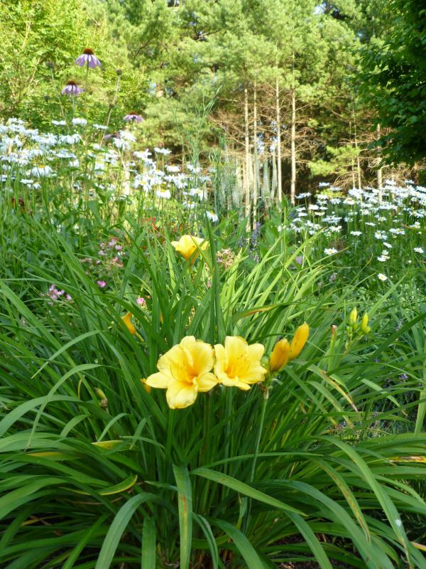 Hemerocallis stella doro dayliliy with shasta daisies perennial perennials how to deadhead a daylily mightylinksfo