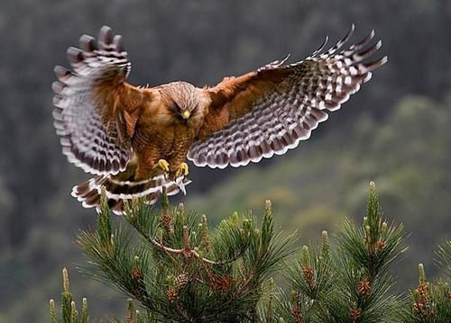 "pagewoman: ""  Red-shouldered hawk by Cary Maures. """