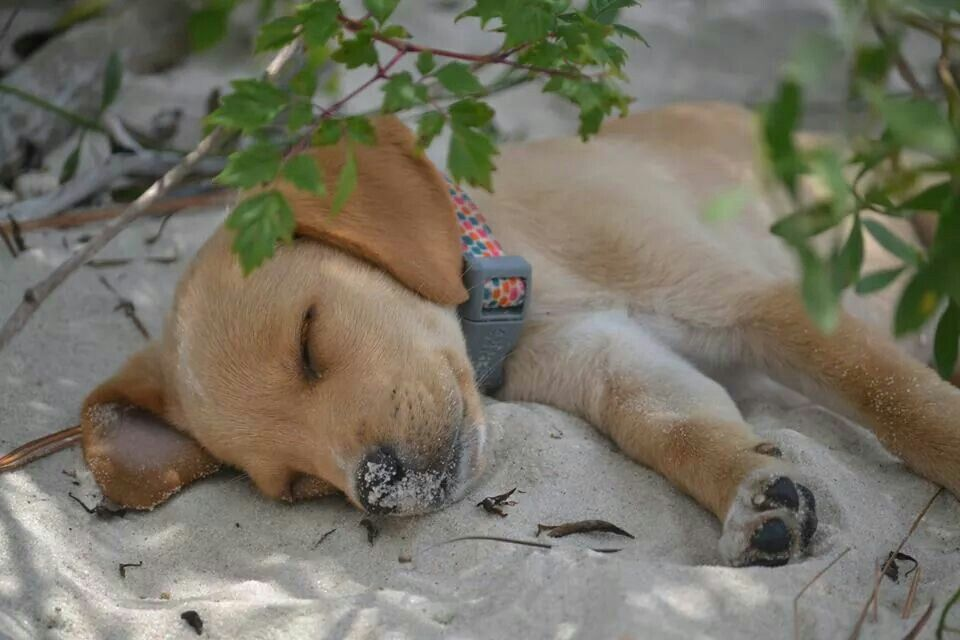 One tired pup.  This baby belongs to a friend of mine.  So cute!