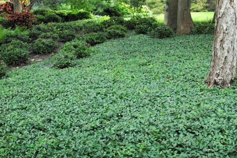 Week 5 with neil sperry look for dependable ground cover for Landscaping ground cover plants
