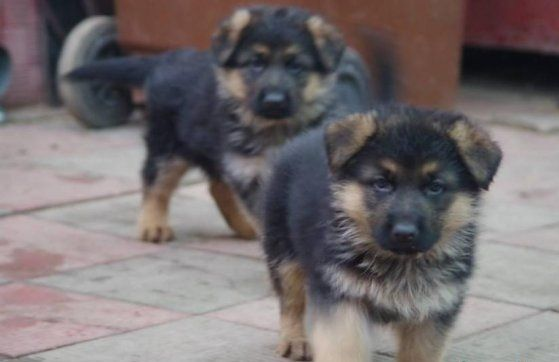 German Shepherd Puppies In Jaipur German Shepherd Puppies Dog
