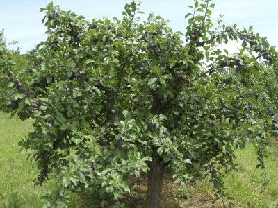 Reviving An Old Fruit Tree How To Rejuvenate Old Fruit Trees Fruit Trees Raspberry Plants Citrus Trees