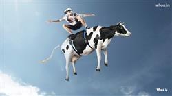 Man Surffing In Cows Facebook Fun HD Wallpaper