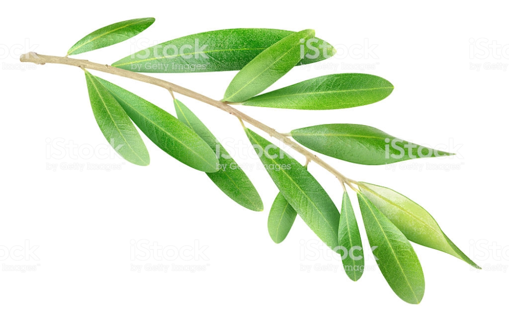 Olive Branch Isolated On White Stock Photo Download Image Now Olive Branch Olive Leaf Trees To Plant