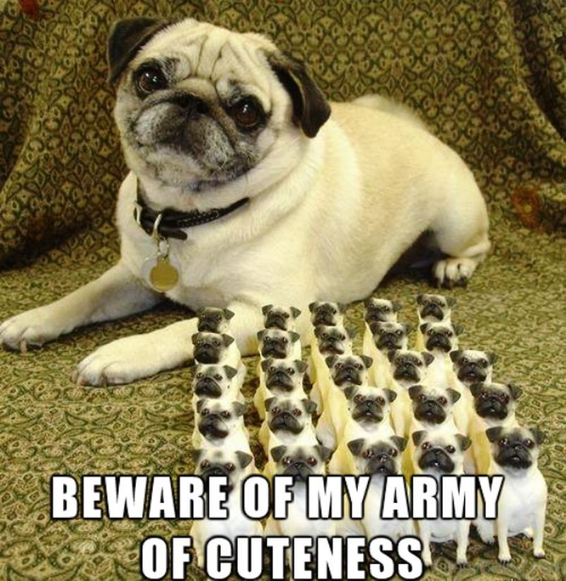 101 Lovable Pug Memes That Are Too Puggin Cute Baby Pugs Cute