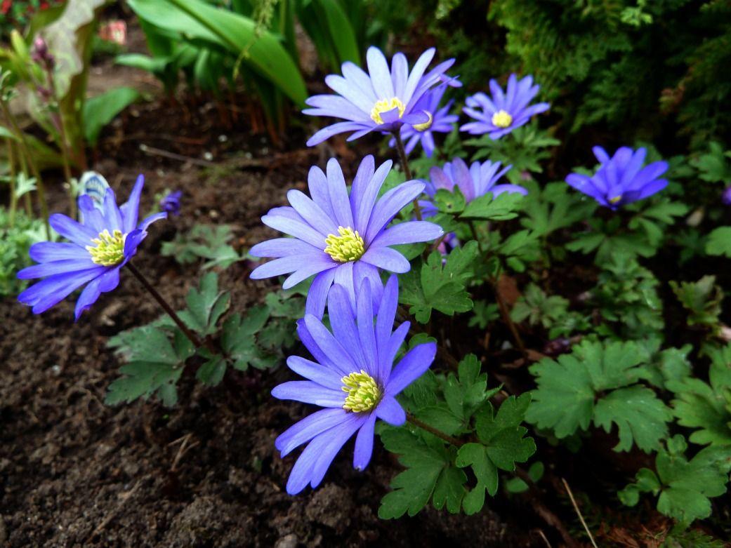 Anemone Blanda Blue Garden Bulbs Perennial Garden Buy Garden