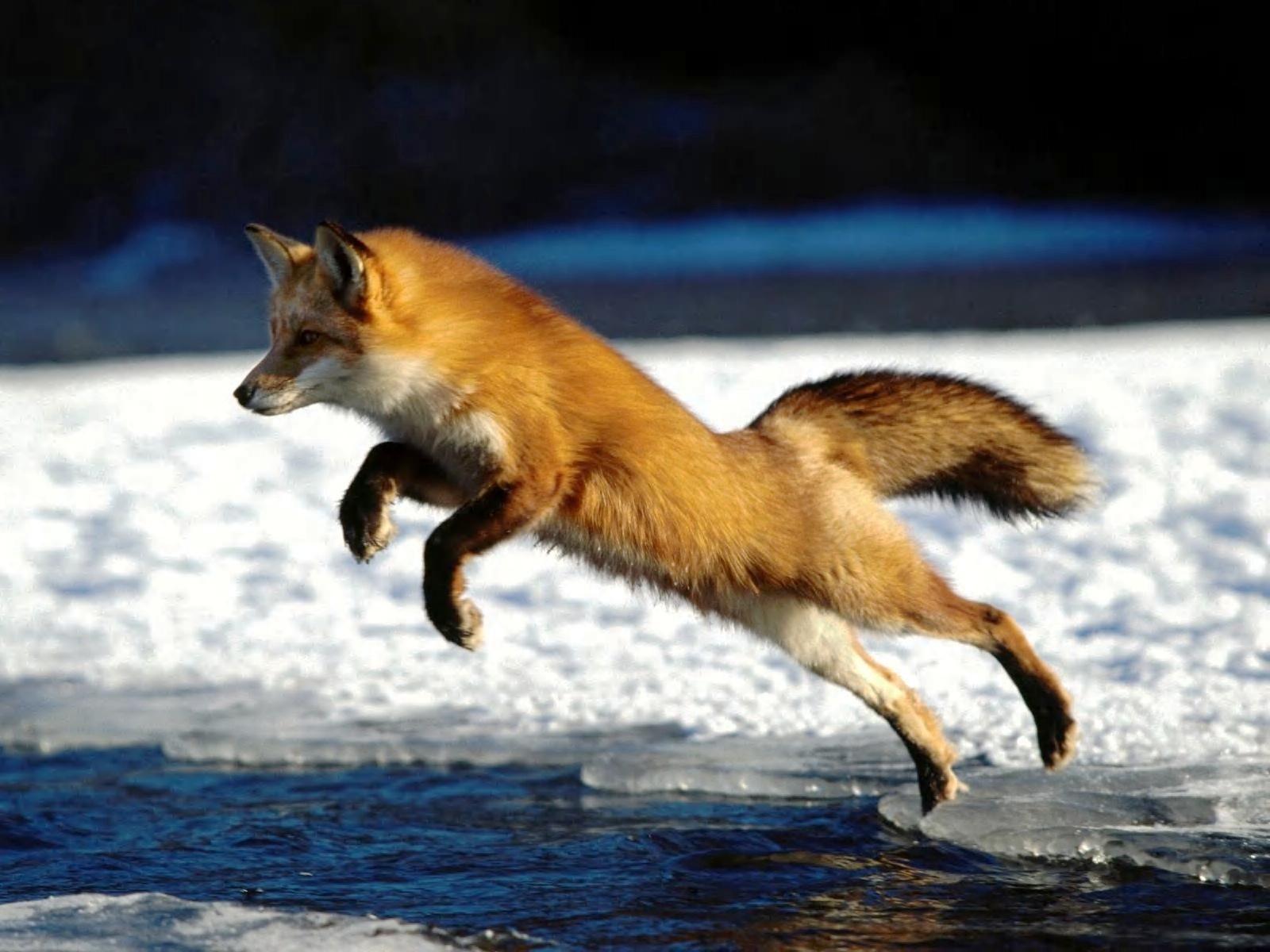 Red Fox Wallpaper HD 46023 1920x1200 px ~ HDWallSource.com ...