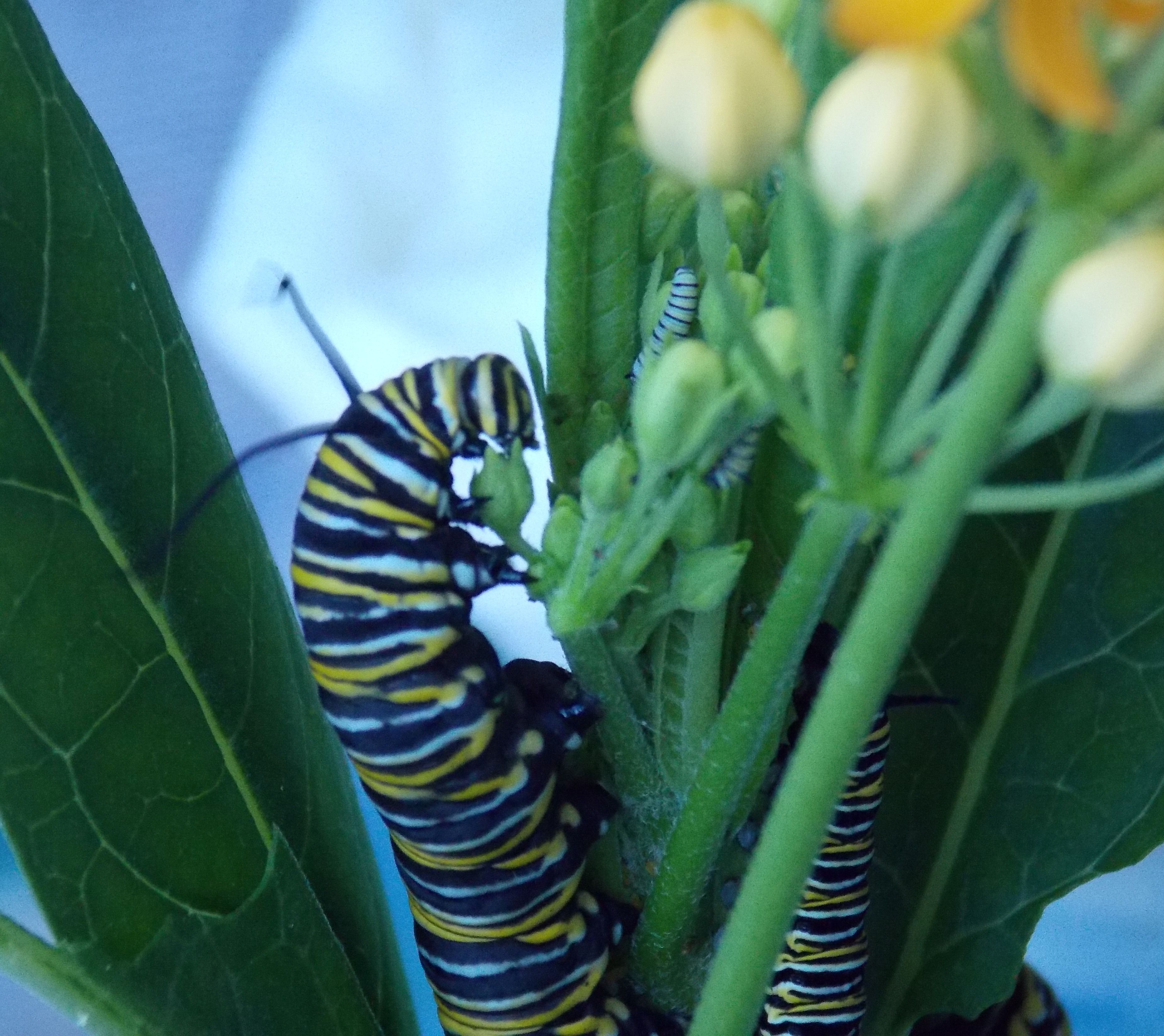 Monarch Caterpillar eating milkweed Monarch caterpillar