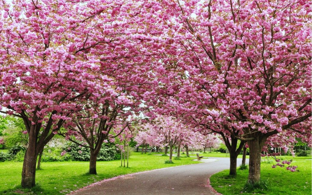Japan In India India S 2nd Autumn Cherry Blossom Festival In Shillong Know It All No Cherry Blossom Festival Pink Flowering Trees Tree With Yellow Flowers
