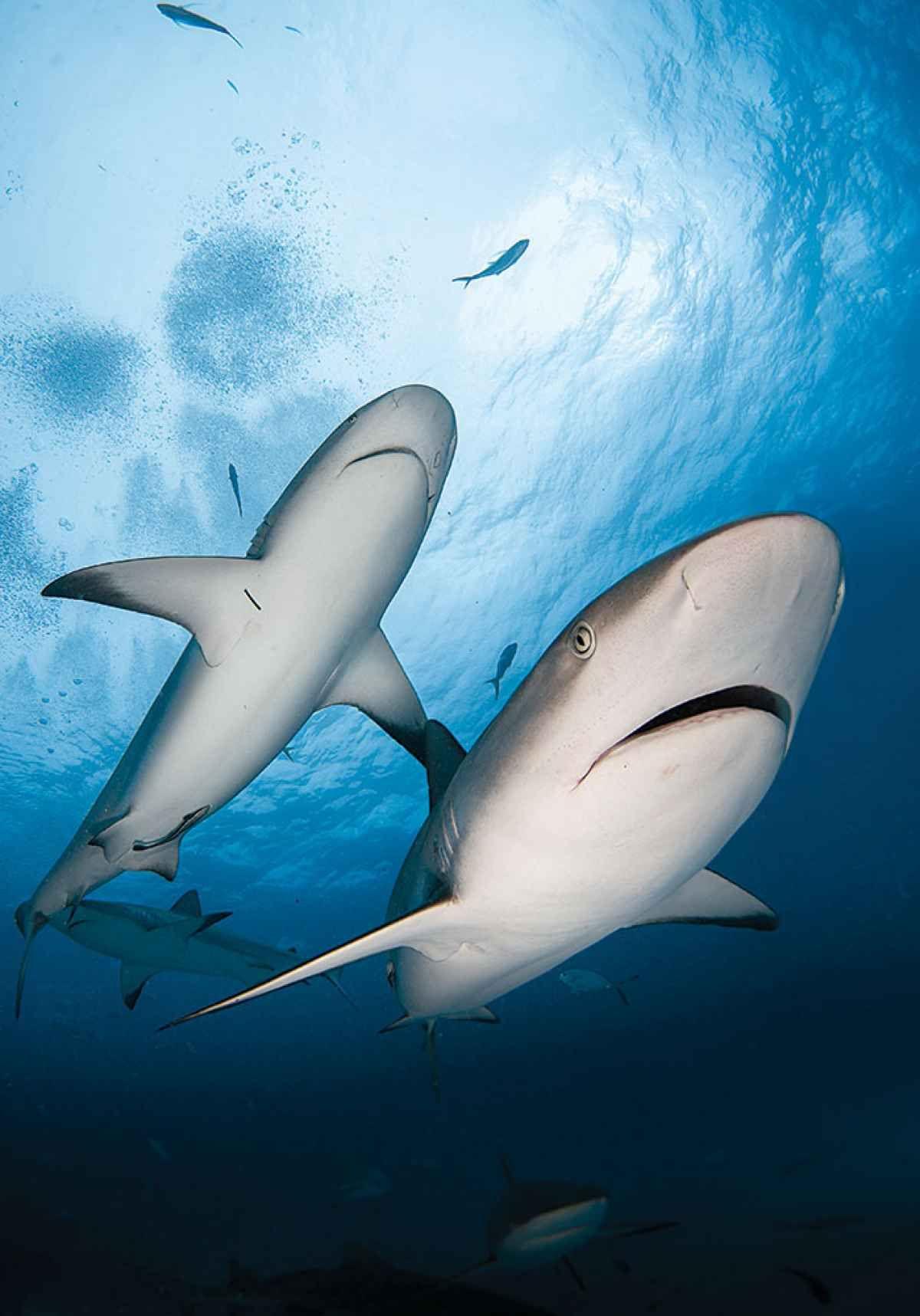 tiger shark eating a fish tiger shark sightings on the big