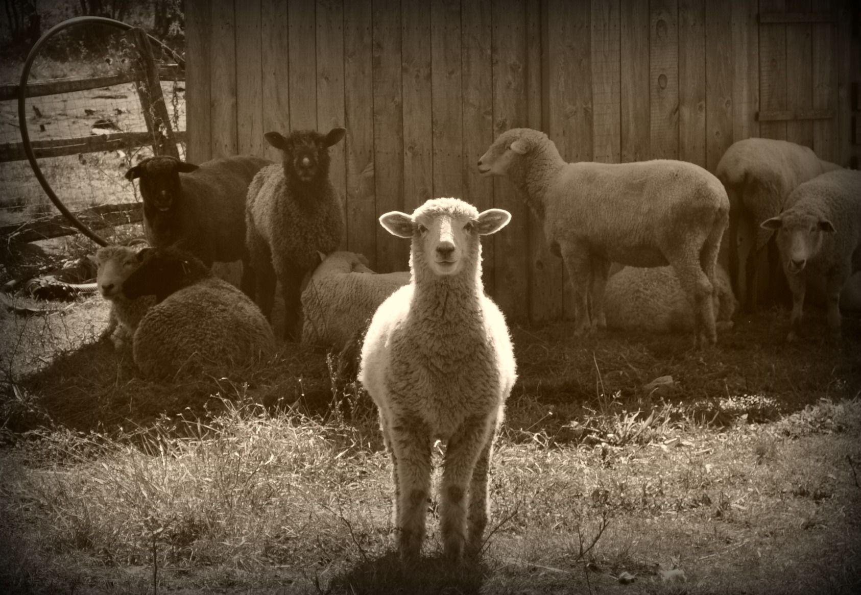 a-shiny-sheep.jpg (1686×1166)