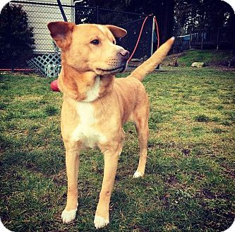 Seattle Wa Chow Chow Basenji Mix Meet Thor A Dog For