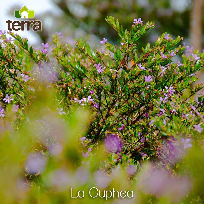 LaCuphea son pequeños arbustos compactos de medio metro de alto Sus