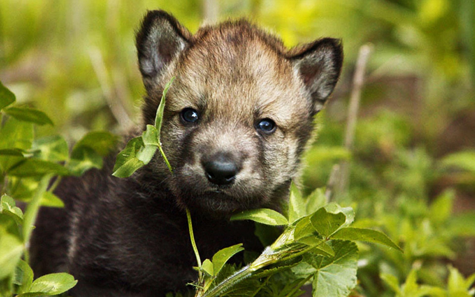Imagenes De Lobo Para Fondo De Pantalla: Animales Lobo Fondo De Pantalla