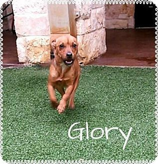 Lewisville, TX - Chihuahua Mix. Meet Glory, a dog for adoption. http://www.adoptapet.com/pet/12284472-lewisville-texas-chihuahua-mix