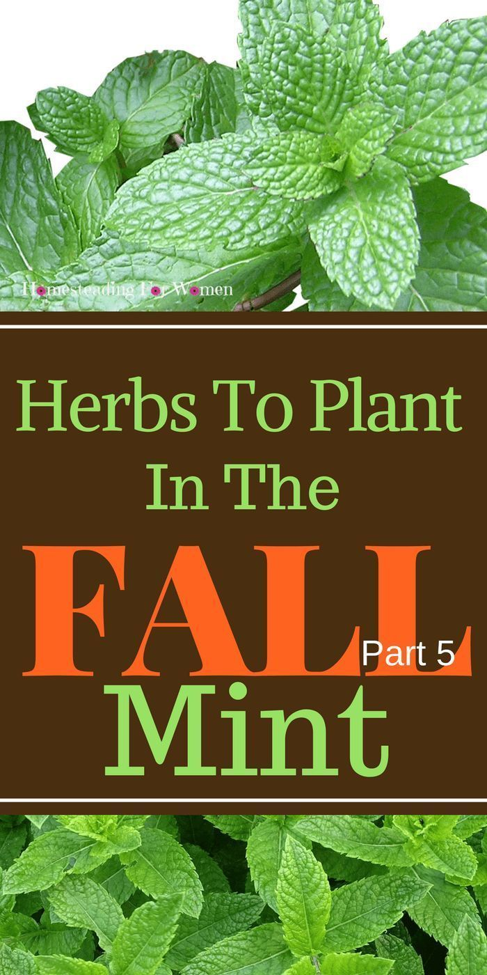Herbs To Plant In The Fall Mint, Mint is so awesome. You can not ...
