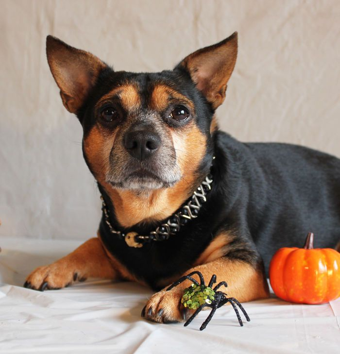 Carlo loves Halloween #cute #pet #animal #dog #chien #pup #puppy #chiot #halloween