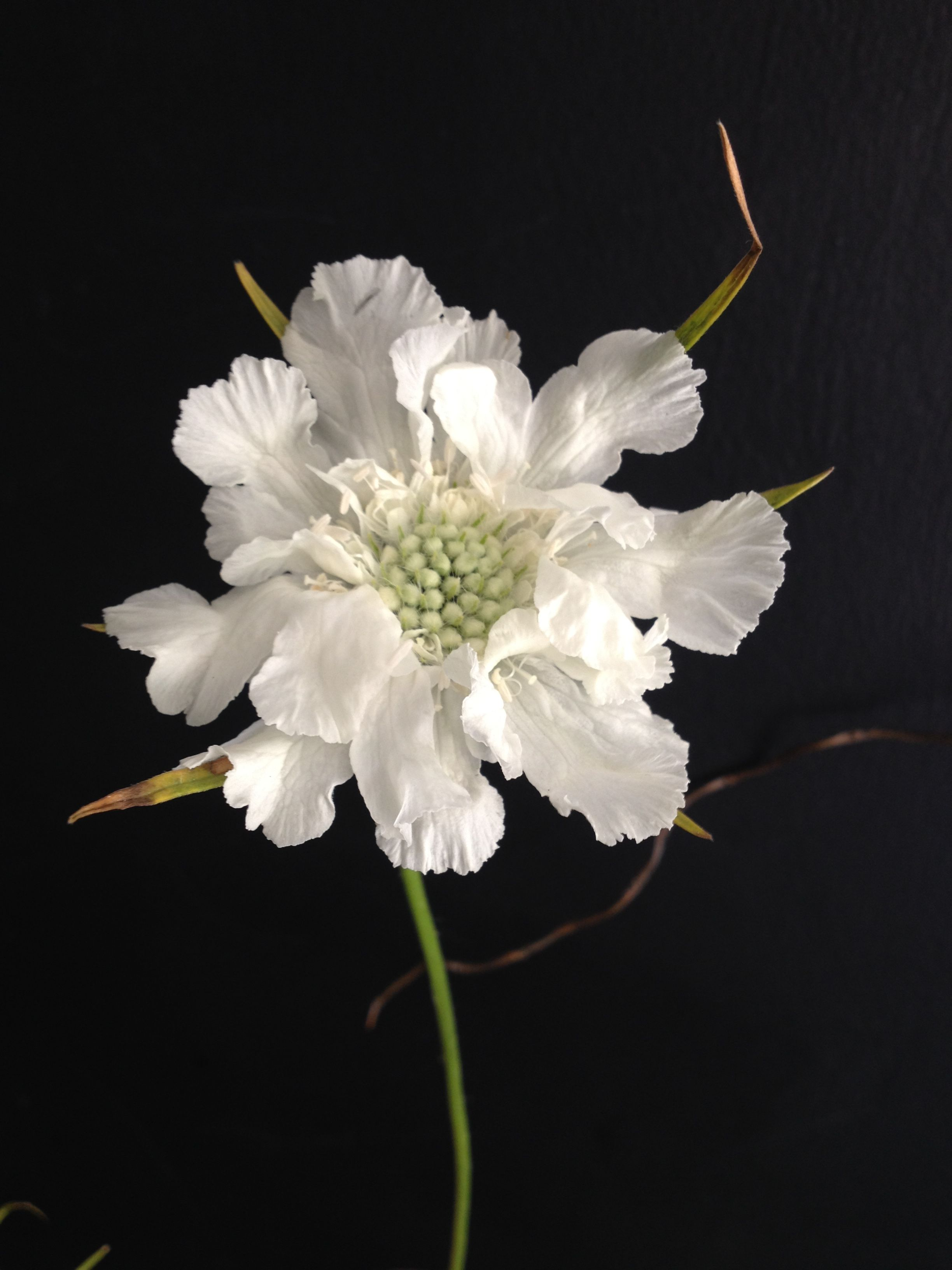 White Scabious Scabiosa Pinterest Flowers And Gardens